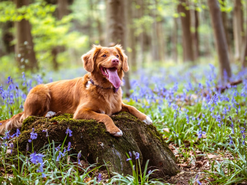 Happy light brown dog with tongue out sitting on rock surrounded by purple flowers.